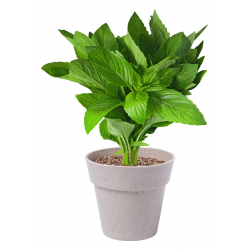 Doiczka z ziołami - AP781236
